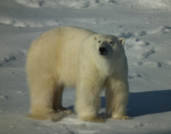 The Arctic sends a polar bear to welcome us to the sea ice